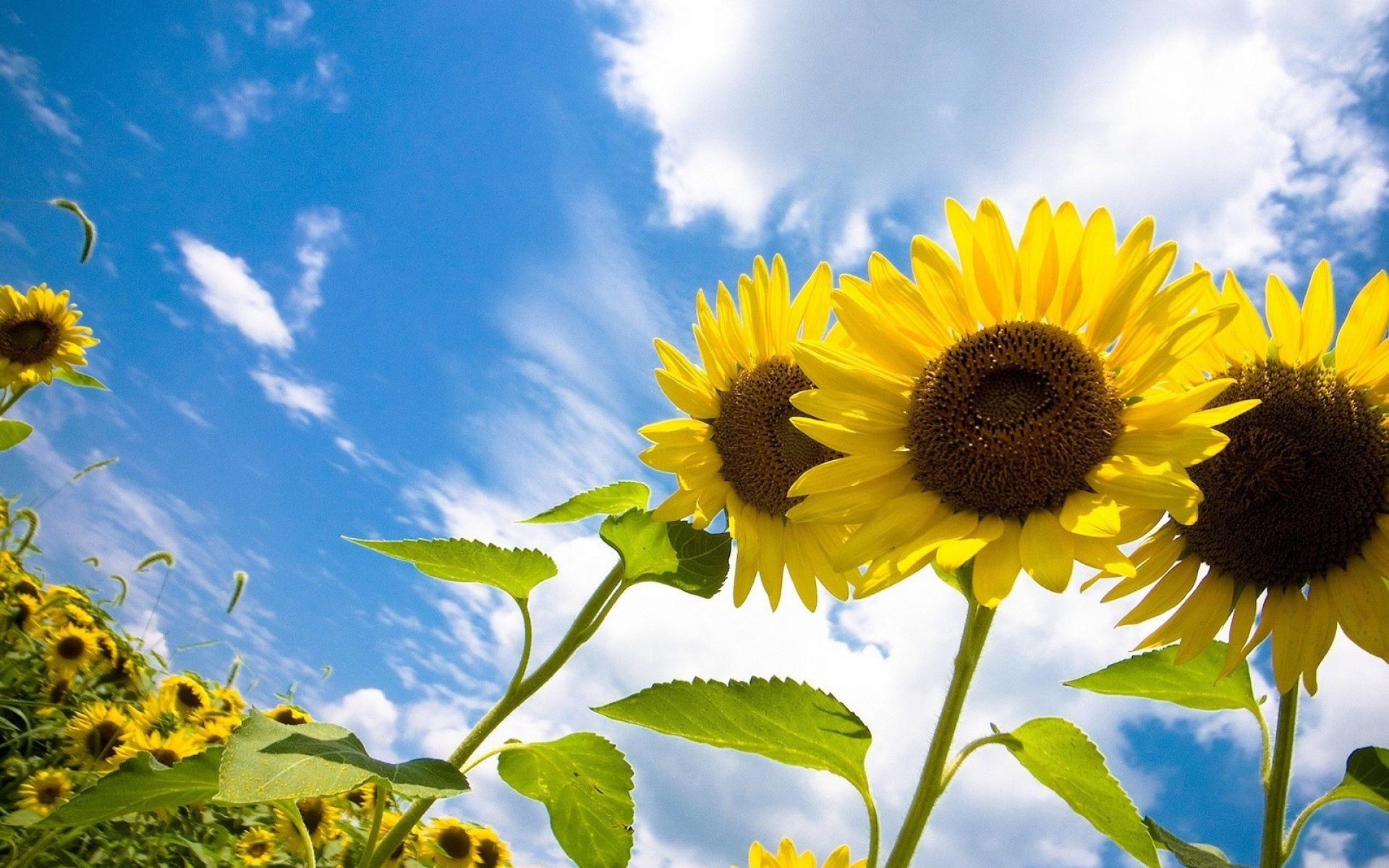 природа подсолнечник цветы nature sunflower flowers  № 2672098  скачать