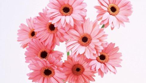 Гербера, цветок, букет, розовый