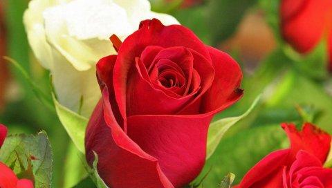 Розы, почки, красный, белый, крупный план