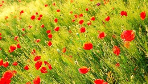 Маки, поле, шипы, лето, зелень