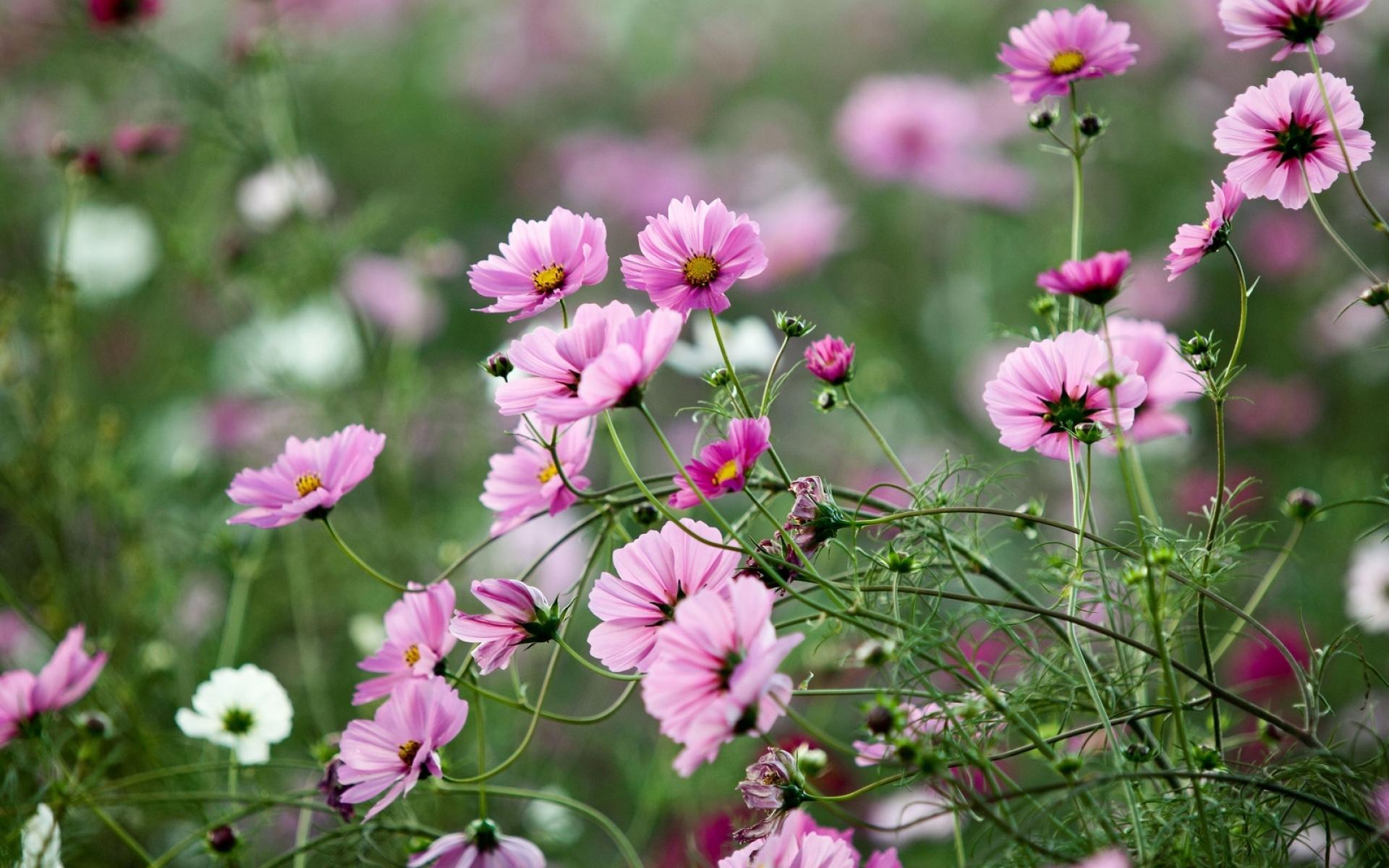 Картинки Космея, цветы, травы, клумба, острота фото и обои на рабочий стол