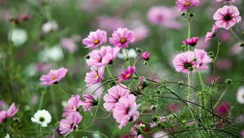 Космея, цветы, травы, клумба, острота