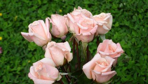 Розы, цветы, букет, деликатный, капля, зеленый