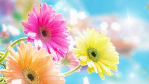Гербера, цветы, блики, солнце, резкость