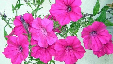 Петуния, цветы, розовый, зеленый, крупный план