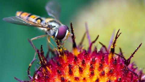 Пчела, насекомое, цветок, опыление, пыльца