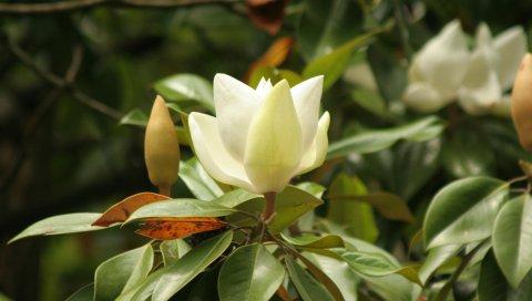 Цветок, почки, куст, ветка, лист