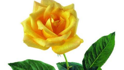 Роза, цветок, ваза, капли, свежесть