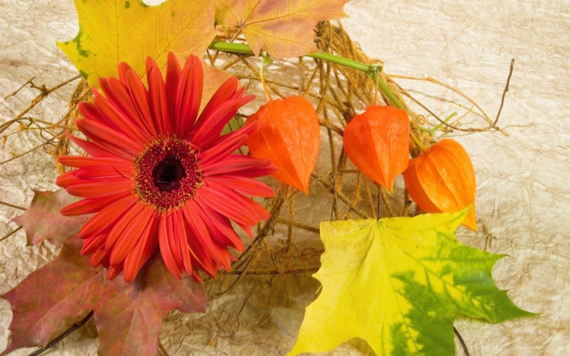 Картинки Гербера, филалис, листья, клен, осень, композиция фото и обои на рабочий стол