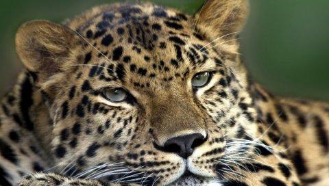 Леопард, лицо, взгляд, усталый, пятнистый