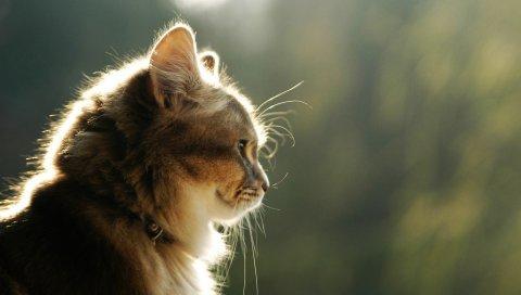 Кошка, лицо, свет, профиль, пушистый