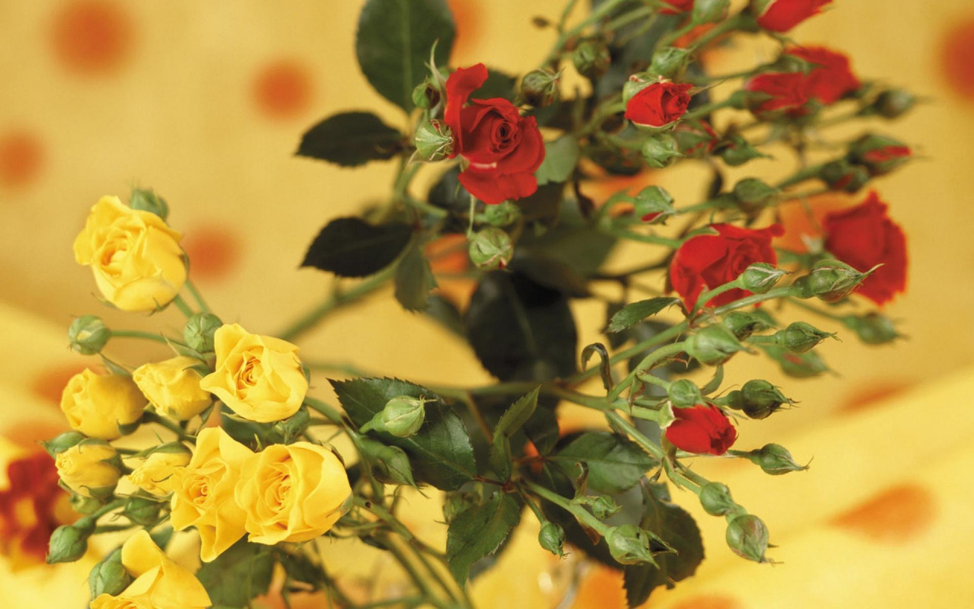 Картинки Розы, цветы, кустарник, красный, желтый, размытие фото и обои на рабочий стол
