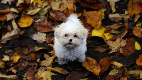 Щенок, пушистый, грязь, листья, осень