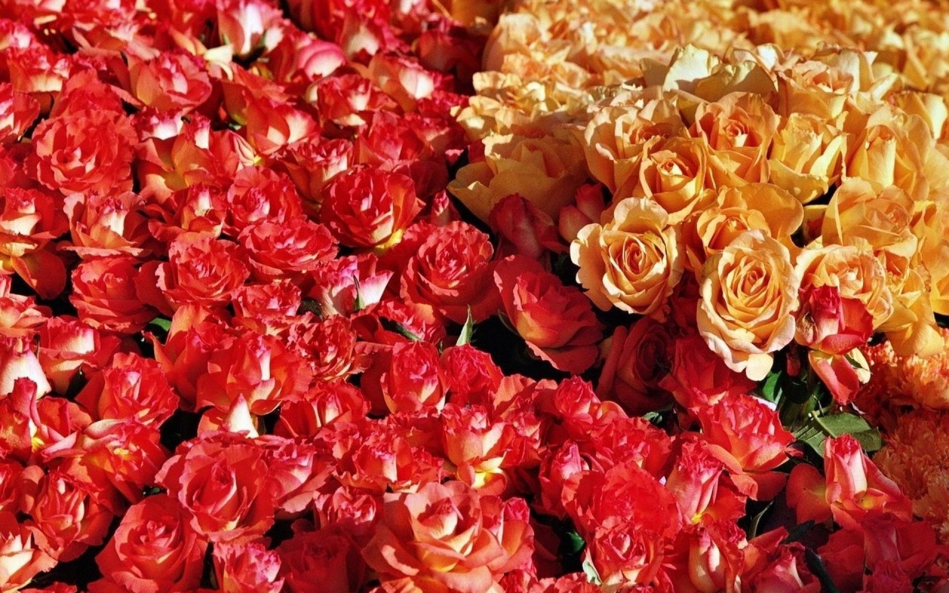 Красивые картинки розы много
