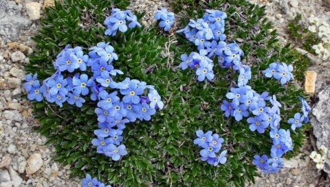 Цветы, маленькие, я-ноты, зелень, трава, скалы