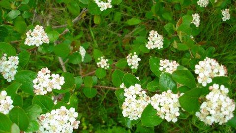 Цветение, кустарник, ветка, трава, листья, травы