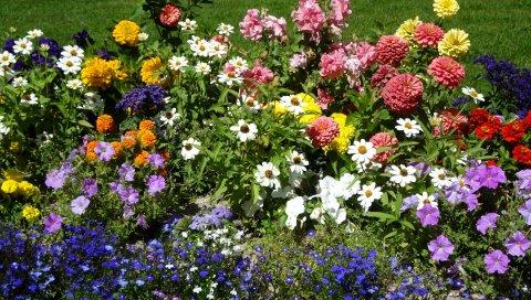 Бархат, петуния, я-ноты, ромашки, цветы, клумба, зелень, красота