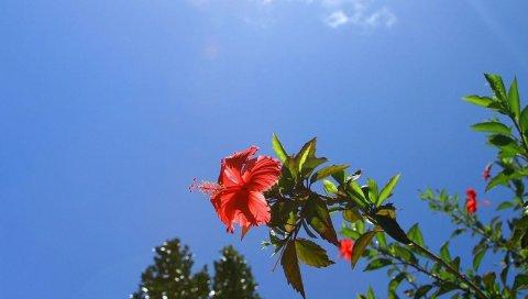 Гибискус, кусты, цветение, ветка, небо, облако
