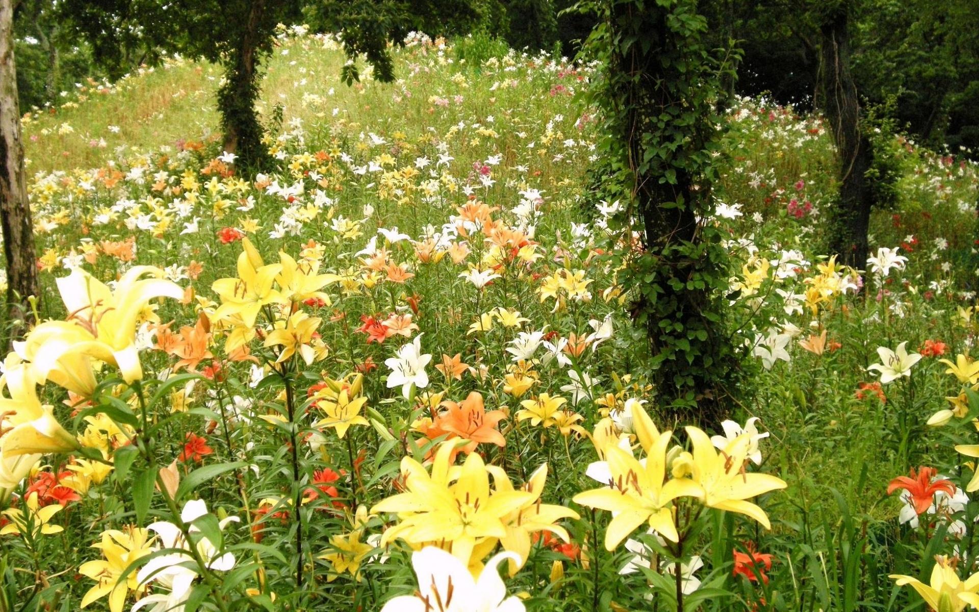 те, лилия полевая сад фото отчаянную смелость, свой