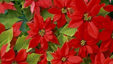 Цветы, яркие, красные, листья, красота