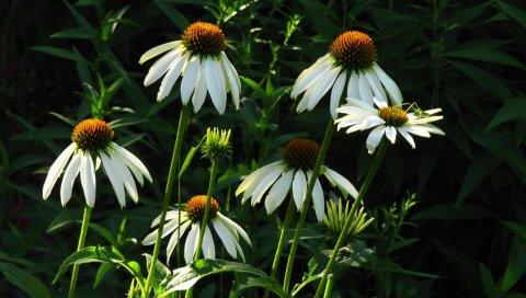 Эхинацея, цветы, лето, зелень