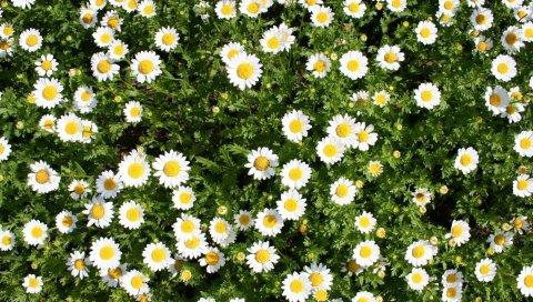Ромашки, цветы, травы, лето, солнечный