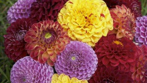 Георгины, цветы, бутоны, цветок, разные, крупный план