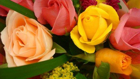 Розы, цветы, хризантема, цветок, крупный план