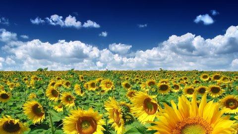 Подсолнухи, поле, небо, облака, солнце