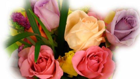 Цветы, розы, бутоны, цветок, размытие
