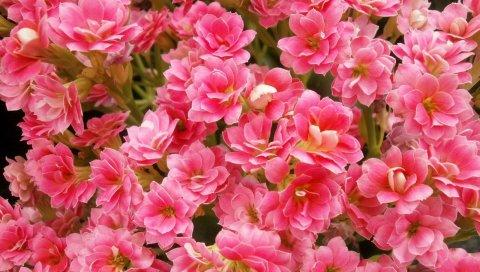 Каланьо, цветы, розовый, закрытый, крупный план