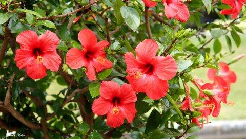 Китайская роза, кустарники, ветви, листья