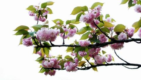 Цветение, ветка, листья, весна