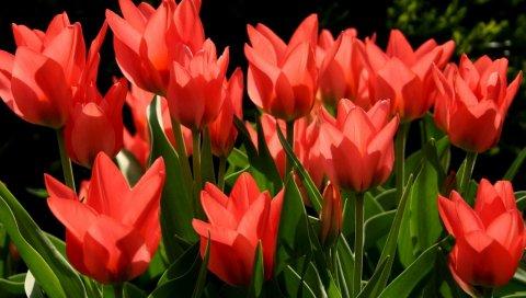 Тюльпаны, цветы, течет, красный, зеленый