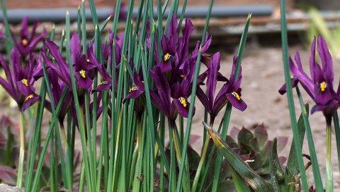 Ирисы, цветы, фиолетовый, зеленый