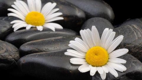 Цветы, пара, камни, ромашки, лепестки