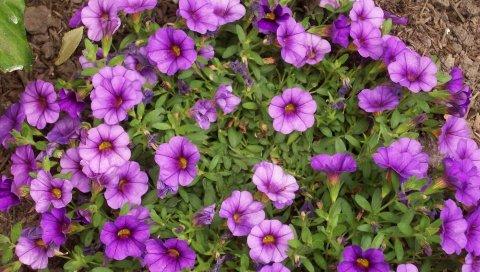 Kalibrahoa, цветы, травы, яркие