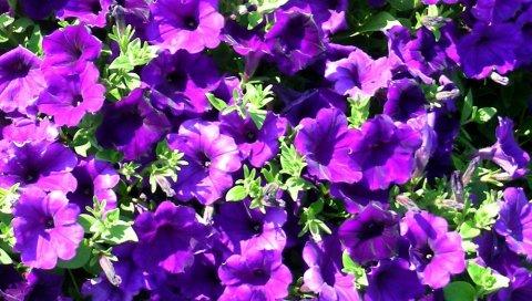 Петуния, цветы, яркие, светлые, зеленые