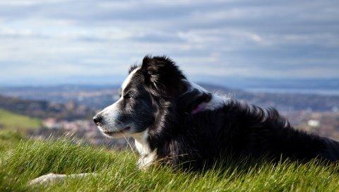 Собака, трава, лежа, ожидая