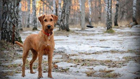 Собака, морда, собачий ошейник, снег, прогулка, весна, лес