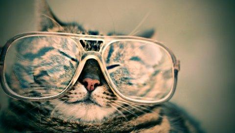 Кошка, лицо, очки, смешные, полосатые