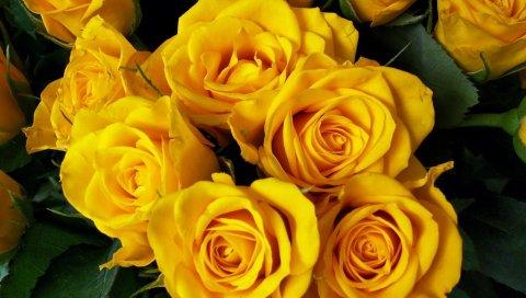 Розы, цветок, желтый, яркий, красивый, букет
