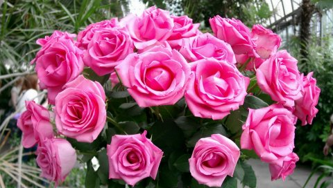 Розы, букет, розовый, нежный, красота