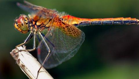 Стрекоза, насекомое, трава, полет