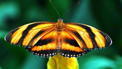 Бабочка, вид, крылья, полоса, ветка