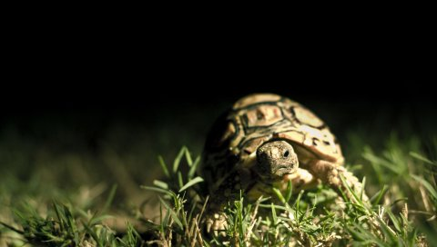 Темный фон, раковина, черепаха трава, крупный план