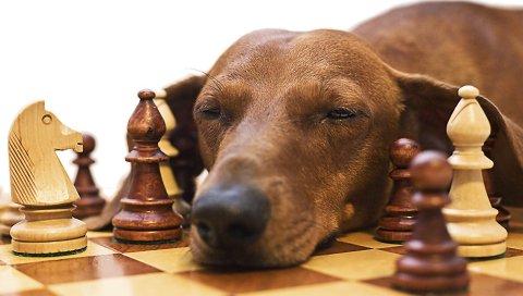 Такса, шахматы, собака, лицо, усталость