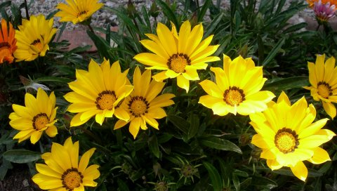 Газания, цветы, зелень, клумба