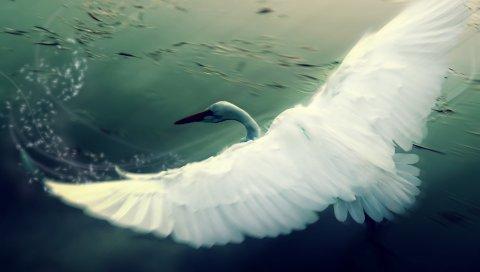 Лебедь, вода, крылья, лоскут, птица
