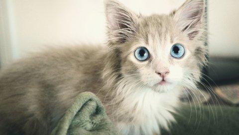 Котенок, мокрый, глаза, голубые глаза